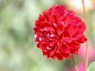 Desktop Wallpapers Flowers Backgrounds Red Flower
