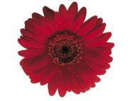 Desktop Wallpapers » Flowers Backgrounds » Red Flower » www ...