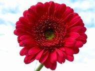 Desktop wallpapers flowers backgrounds red gerbera daisy www red gerbera daisy izmirmasajfo