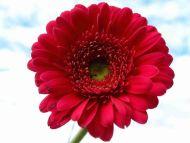desktop wallpapers » flowers backgrounds » red gerbera daisy » www