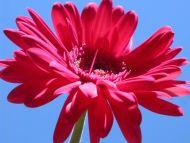 Desktop wallpapers flowers backgrounds red gerbera - Gerber daisy wallpaper ...