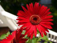 red daisy flower hd - photo #13