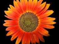 Desktop Wallpapers Flowers Backgrounds Red Like Sunflower Www Desktopdress Com
