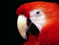 Red Parrot Closeup