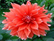 Red Pink Dahlias