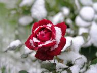 Desktop wallpapers flowers backgrounds red rose in - Rose in snow wallpaper ...