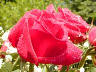 Red Rose Water Drops
