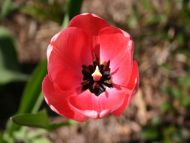 Red Spider Tulip