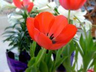 Red Tulipa