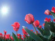 red-tulips_cincinnati_ohio
