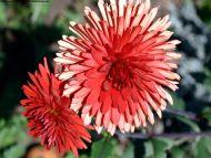 Red White Dahlia