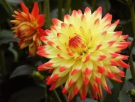 Desktop wallpapers flowers backgrounds red yellow dahlia www red yellow dahlia izmirmasajfo