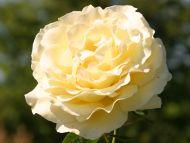 Desktop wallpapers flowers backgrounds rose cream for Cream rose wallpaper