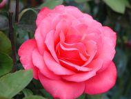 Rose Hasting
