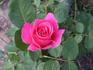 Desktop Wallpapers » Flowers Backgrounds » Rose Pink » Www