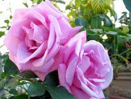 http://www2.hiren.info/desktopwallpapers/flowers/rose-purple-passion.jpg