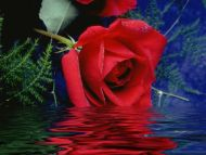 Rose Touching Water