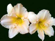Ruffled Daylilies