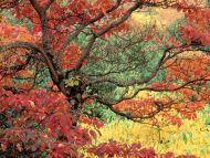 Sassafras in Autumn, Hoyt Arboretum, Portland, Oregon
