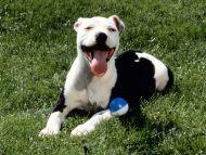 American Pitbull Terrier Galleries
