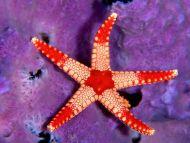 Sea Star Palau, Micronesia