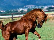 Shah Azim, Arabian Stallion