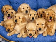 Siblings, Golden Retriever Puppies