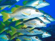 Silver Fishes