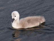 Single Baby Swan Side