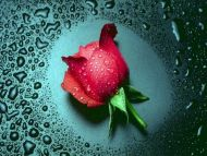 Single Wet Red Rose