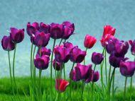Some Violet Tulips