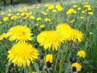 Sow Thistle in Meadow