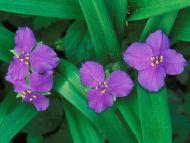 Spiderwort Flowers