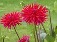 Spikey Chrysanthemum