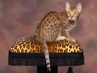 Spotted Chocolate Ocicat