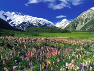 Spring Meadow, Mount Cook, New Zealand
