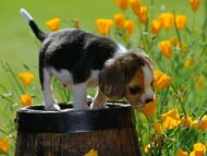 Spring Scents, Beagle Puppy
