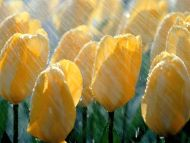Spring Shower, Tulips