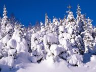 Spruce Trees Covered In Snow Canada