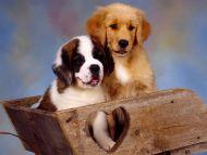 St Bernard and Golden Retriever