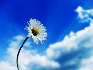 Stellaria Flower