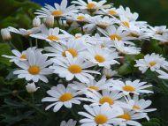 Stellaria Flowers