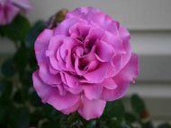 Desktop Wallpapers Flowers Backgrounds Sterling Silver Rose