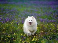 Summer Play, Samoyed