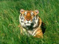 Sunbather, Bengal Tiger