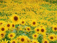 Desktop Wallpapers Flowers Backgrounds Sunflower Field