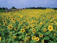 Sunflower Field, Near Lexington, Kentucky