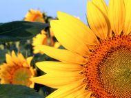 Sunflower, Clantonia, Nebraska