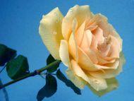 Desktop wallpapers flowers backgrounds superb cream for Cream rose wallpaper