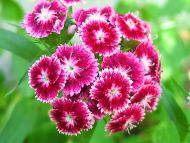 Desktop Wallpapers Flowers Backgrounds Sweet William